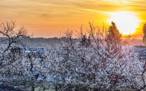 Sonnenaufgang  bei Baumblüte