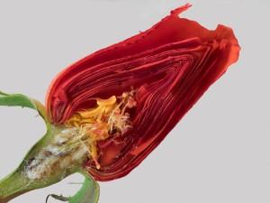 Rose  im Schnitt