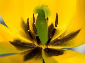 Tulpe Staubgefäße