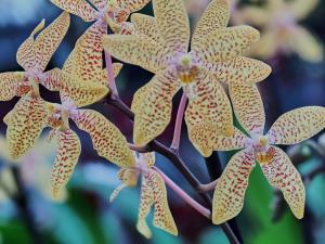 P2190052  Orchideen