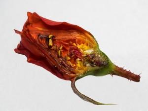 Schnitt einer roten Rose