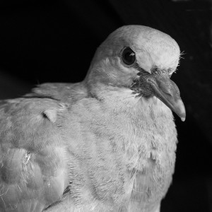 Junge Taube SW - Aufnahme