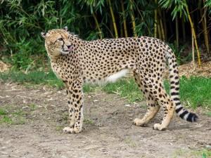 Gepard-3 Tierpark Herberstein