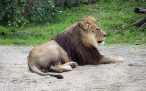 Löwe-2 Tierpark Herberstein
