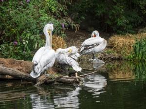 Pelikane-3 Tierpark Herberstein