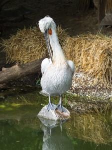 Pelikane Tierpark Herberstein
