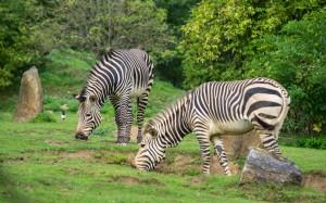 Zebra Tierpark Herberstein