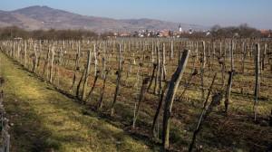 Weingarten im Winter ohne Schnee