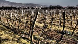 Weingarten im Winter ohne Schneedramatic filter