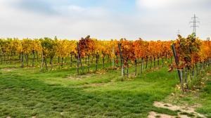 Herbstlaub Weingärten 1