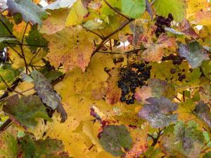 Herbstlaub Weingärten 5
