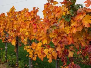 Herbstlaub Weingärten 4