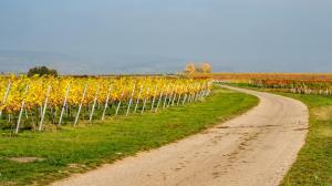 Herbstlaub Weingärten 3