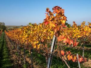 Herbstlaub Weingärten 10