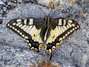 Schmetterling Rücken