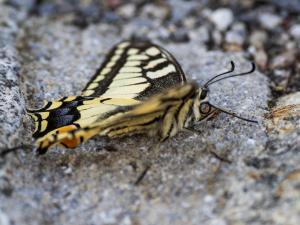 Schmetterling Anblick von der Seite