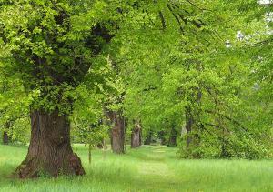 Grafenegg Lindenallee im Schlosspark