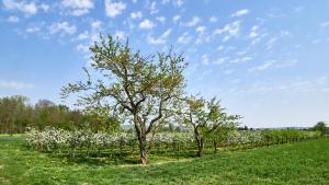 Obstbaumblüte Hadersdorf
