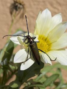 Käfer Moschusbock auf Blüte 2