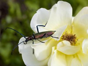 Käfer Moschusbock auf Blüte 1