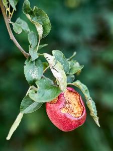 Apfel reif