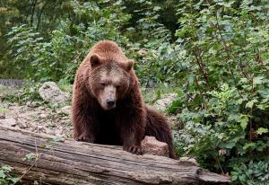 Tierpark Haag Braunbär 5