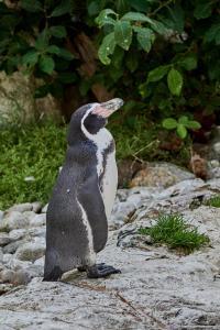 Tierpark-Schoenbrunn Sep.-09-2021 Pinguin