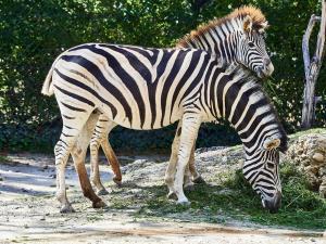 MV000023-fin Tierpark-Schoenbrunn Sep.-09-2021 Zebra