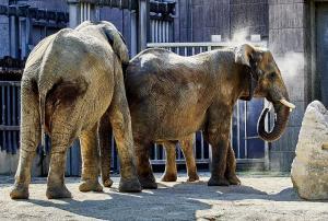 MV000077 Tierpark-Schoenbrunn Sep.-09-2021#Elefant