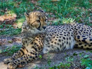 MV000151 Tierpark-Schoenbrunn Sep.-09-2021Leopard