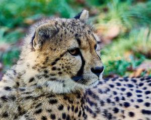 MV000157-fn Tierpark-Schoenbrunn Sep.-09-2021Leopard