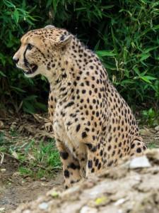 Gepard-2 Tierpark Herberstein