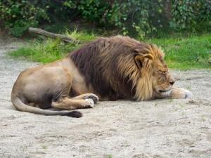 Löwe Tierpark Herberstein