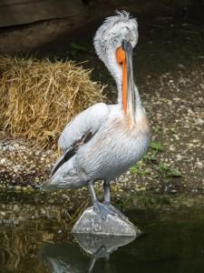 Pelikane-2 Tierpark Herberstein