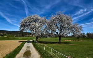 Baumblüte in Harbach