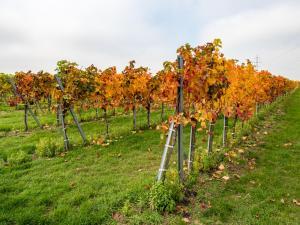 Herbstlaub Weingärten 6