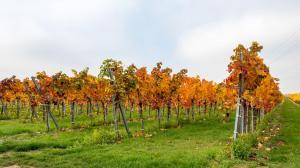 Herbstlaub Weingärten 2