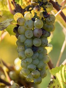 Herbstlaub Weingärten 7