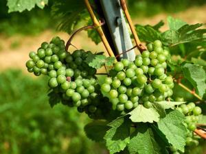 Zöbing Weingarten Weintraube 4