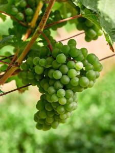 Zöbing Weingarten Weintraube 3