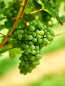 Zöbing Weingarten Weintraube 5