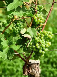 Zöbing Weingarten Weintraube 1